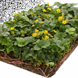 Waldsteinia Ternata kant en klaarmat