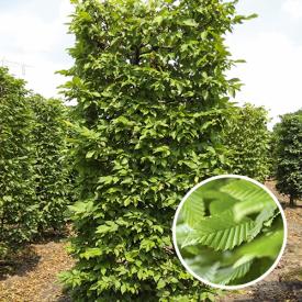 kant en klaar blokvorm carpinus betulus kopen en prijs
