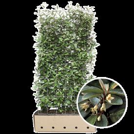 kant en klaarhagen olijfwilg Elaeagnus detail bloem