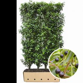 kant en klaarhaag prunus angustifolia