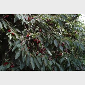 Kersenboom Hedelfinger