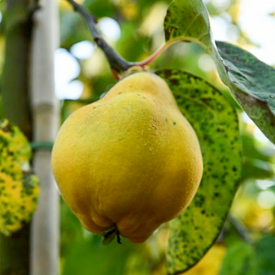 Kweepeer Vranja vrucht