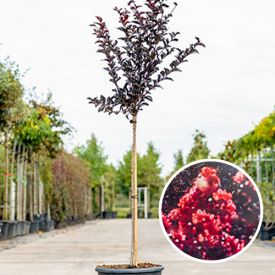 Lagerstroemia Best Red