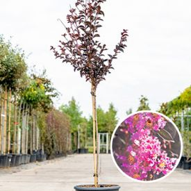 Lagerstroemia Lavender Lace