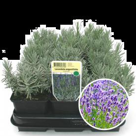 Lavendel bloei