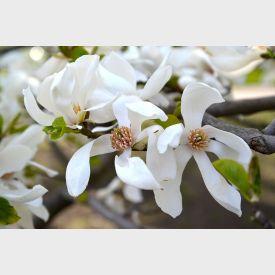 Lei Magnolia bloem