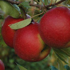 Appelboom Elstar
