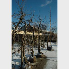 Oude appelboom Jonagold