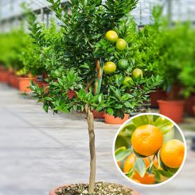 Mandarijnboom