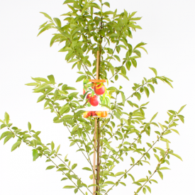 Nectarine Madame Blanchet