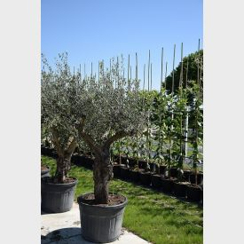Olijfboom Europaea Joven