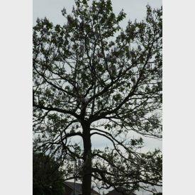 Boom Paulownia tomentosa keizersboom
