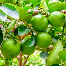 Perzische Limoen boom