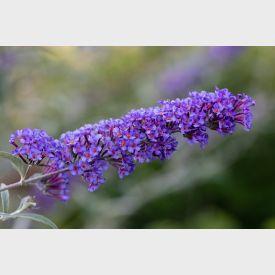 Vlinderstruik Nanho Blue