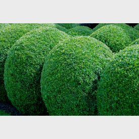 Grote Buxus bol
