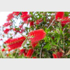 Lampenpoetserplant kopen