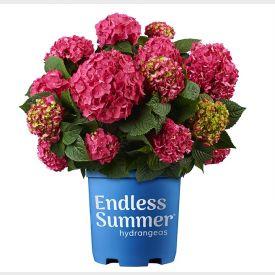 Hortensia Endless Summer Love