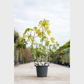 Vijgenboom meerstammig