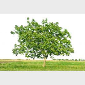 Walnotenboom groot
