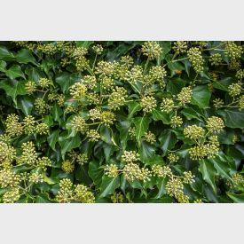 Heder helix Arborescens