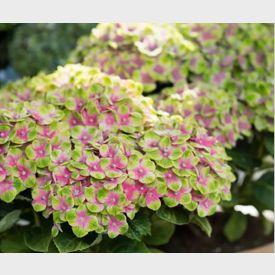 Hortensia Magical Amethyst roze