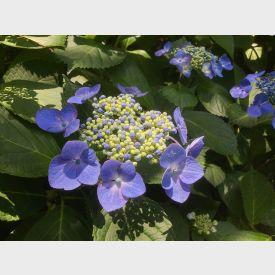 Hortensia Blue Sky