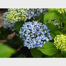 Hortensia Ayesha blauw
