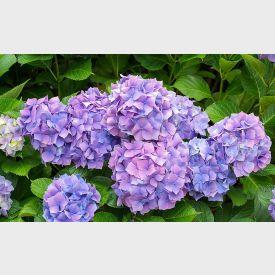 Hortensia Nikko Blue