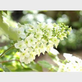Eikenbladhortensia bloem wit