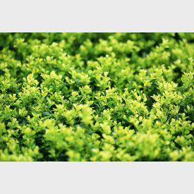 Ilex crenata Maxime green Lustre