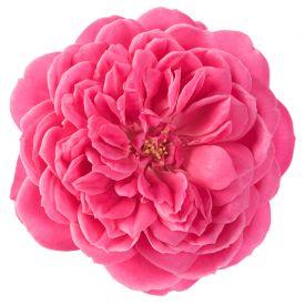 Eetbare Roos Fruity bloem