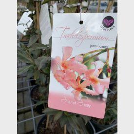 Roze bloem Toscaanse Jasmijn