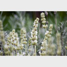 Lavendel Edelweiss