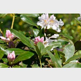 Rhododendron yak. Dreamland