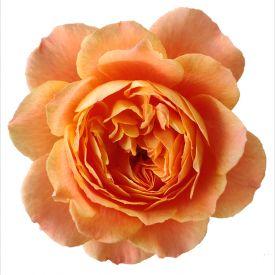 Eetbare roos Juicy bloem