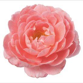 Eetbare Roos Spicy bloem