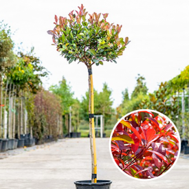 Photinia frasering Little Red Robin