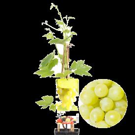 Druif Himrod Pitloos Plant