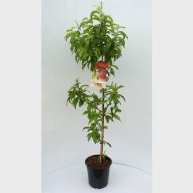 Platte Nectarine Flateryna