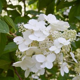 Pluimhortensia White Lady