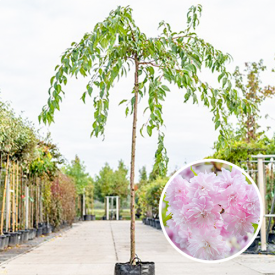 Prunus Kiku-Shidare