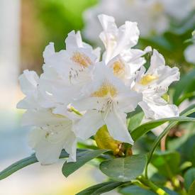 Rhododendron Madame Masson