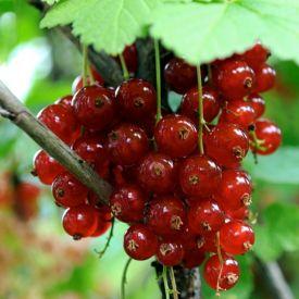 vrucht Jonkheer v Tets
