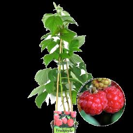 "Vrucht Rode framboos Rubus idaeus ""Ottawa"""