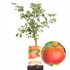 Rode Boskoop, Goudreinet Patio fruitboom