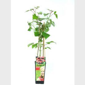 """Rode braam Rubus """"Phoenicolasius"""""""