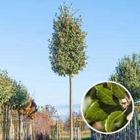 Steeneik Quercus Ilex boom