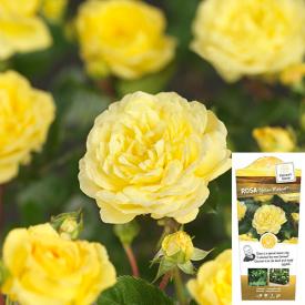 Struik-Stamroos Yellow Meilove bloem