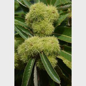 Castanea sativa vrucht