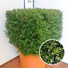 Taxus Baccata Blokvorm 250-275
